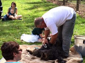 Pippin getting his semi-annual haircut.